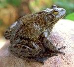 Bullfrog1CBrown_altLG